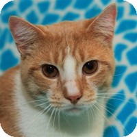 Domestic Shorthair Cat for Sale in Albany, New York - Axel
