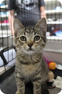 Domestic Shorthair Kitten for Sale in santa monica, California - Laurel