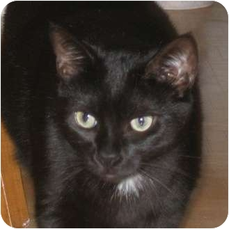 Domestic Shorthair Cat for adoption in Toronto, Ontario - Tootsie