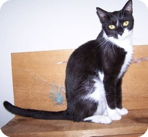 Domestic Shorthair Cat for Sale in Colorado Springs, Colorado - Lulu