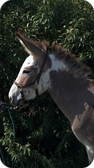 Donkey/Mule/Burro/Hinny Mix for Sale in Malvern, Iowa - Shadow