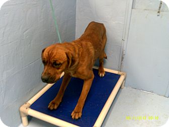 Boxer/Mastiff Mix Dog for Sale in Dundas, Virginia - Buster - Facing Death