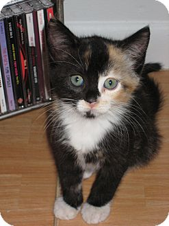 Calico Kitten for Sale in Lighthouse Point, Florida - Tara
