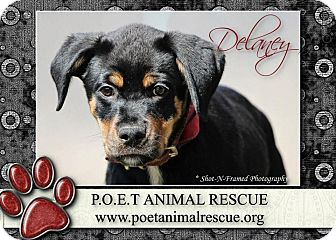 Rottweiler Mix Puppy for Sale in Westland, Michigan - Delaney