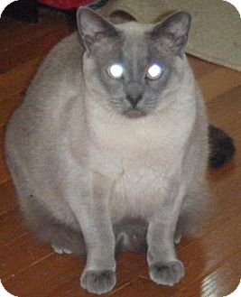 Siamese Cat for adoption in Kensington, Maryland - Barn Cats---Satyr & Tippy
