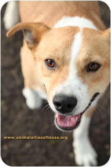 Terrier (Unknown Type, Medium) Mix Dog for adption in Garland, Texas - Daddy Jack