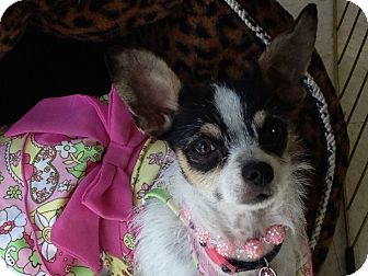 Rat Terrier/Jack Russell Terrier Mix Dog for Sale in Brea, California - Jenna