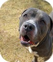 American Bulldog/Mastiff Mix Dog for adption in Tinton Falls, New Jersey - Georgie