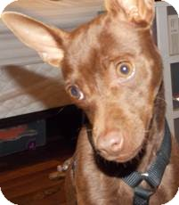 Chihuahua/Miniature Pinscher Mix Dog for Sale in San Diego, California - Lexi