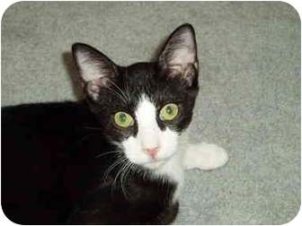 Domestic Shorthair Cat for adoption in AUSTIN, Texas - Steven
