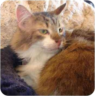 Maine Coon Cat for adoption in Dallas, Texas - Andrew