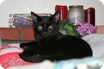 Domestic Shorthair Kitten for Sale in SantaRosa, California - Zeus