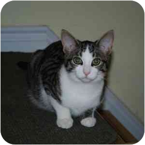 Domestic Shorthair Kitten for adoption in Mississauga, Ontario, Ontario - Aramis