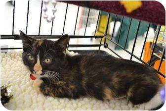 Calico Cat for adoption in Chino, California - Sara