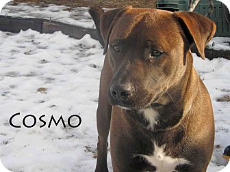 Pit Bull Terrier Mix Dog for Sale in Hamilton, Montana - Cosmo