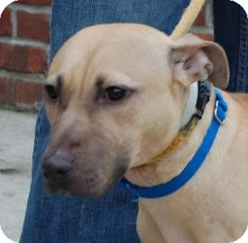 American Pit Bull Terrier Mix Dog for adption in Brooklyn, New York - Regina
