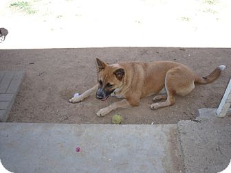 Australian Cattle Dog Mix Dog for Sale in Scottsdale, Arizona - Amberlyn - Adoption Pending