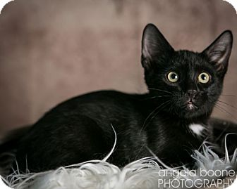 Domestic Shorthair Cat for Sale in Eagan, Minnesota - Luigi