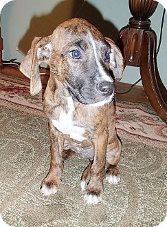 Boxer/German Shorthaired Pointer Mix Puppy for Sale in Bedford, Virginia - Boxy