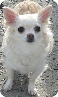 Chihuahua Dog for Sale in Forked River, New Jersey - Sugar