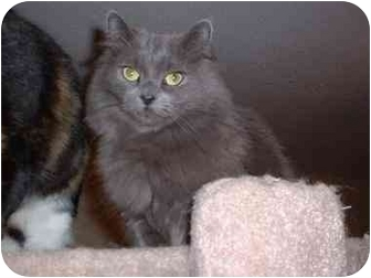 Domestic Mediumhair Cat for Sale in Lethbridge, Alberta - Molly