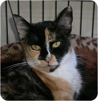 Calico Cat for adoption in Brea, California - Calista