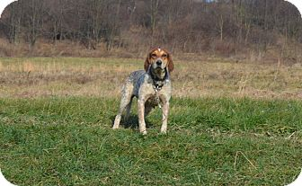 Bluetick Coonhound Mix Dog for Sale in New cumberland, West Virginia - Lady