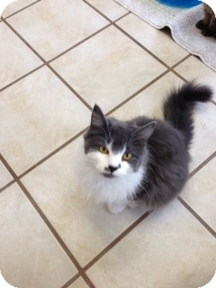 Domestic Longhair Cat for Sale in Chippewa Falls, Wisconsin - Dolly