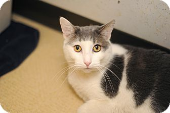 Domestic Shorthair Cat for adoption in Chicago, Illinois - Mellow