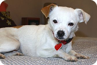 Jack Russell Terrier/Chihuahua Mix Dog for Sale in Bellflower, California - Ethan