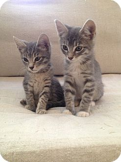 Domestic Shorthair Kitten for Sale in Los Angeles, California - Zack & Dee Dee- cuddle pair