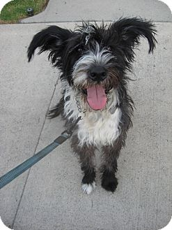 Border Collie/Schnauzer (Standard) Mix Dog for Sale in Van Nuys, California - Melody