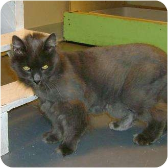 Domestic Mediumhair Cat for adoption in Brush Prairie, Washington - Tasha