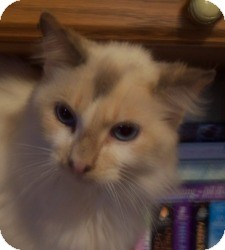 Ragdoll Cat for Sale in Ennis, Texas - Cherubim