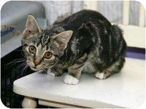Domestic Shorthair Kitten for adoption in Cleveland, Ohio - Mickey