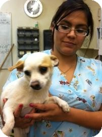 Chihuahua Mix Dog for Sale in Tucson, Arizona - Chikito