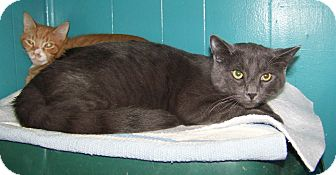 Domestic Shorthair Cat for adoption in Dover, Ohio - Hans