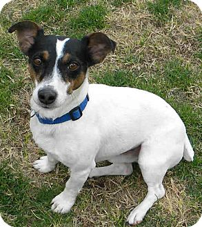 Jack Russell Terrier Dog for Sale in Phoenix, Arizona - HAROLD
