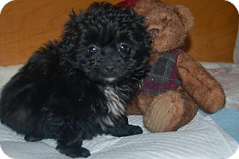 Poodle (Toy or Tea Cup)/Dachshund Mix Puppy for Sale in Hazard, Kentucky - Bentley