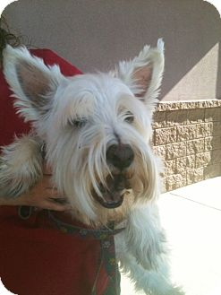 Westie, West Highland White Terrier Mix Dog for Sale in Tucson, Arizona - Jasper