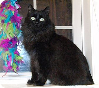 American Bobtail Cat for adoption in Temple, Pennsylvania - BOO!