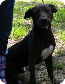 Labrador Retriever Mix Dog for Sale in Gainesville, Florida - Elmer