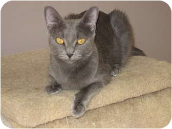Russian Blue Cat for Sale in Huffman, Texas - Bella