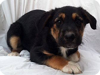 Bernese Mountain Dog/Irish Wolfhound Mix Puppy for Sale in Thousand Oaks, California - Jacob