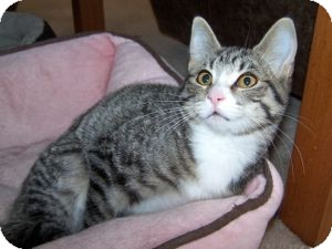 Domestic Shorthair Kitten for Sale in Colorado Springs, Colorado - K-Sitka1-Lily
