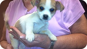 Chihuahua Mix Puppy for Sale in Hazard, Kentucky - Schremp