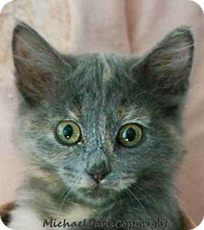 Maine Coon Kitten for Sale in Vacaville, California - Girlzilla