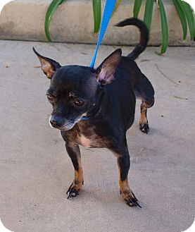 Chihuahua Mix Dog for Sale in Chula Vista, California - Daisy