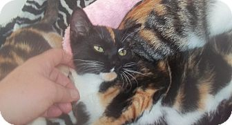 Domestic Shorthair Cat for adoption in douglaston, New York - miley