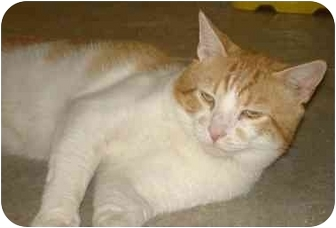 Domestic Shorthair Cat for adoption in Petersburg, Virginia - Marvin